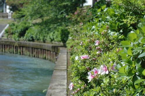 富山市 いたち川 5月 植物