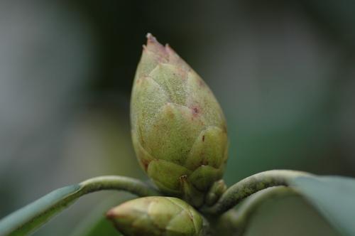 2月 蕾 つぼみ