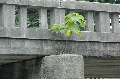 富山市 いたち川 植物