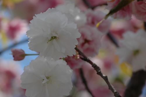 富山県 いたち川 桜