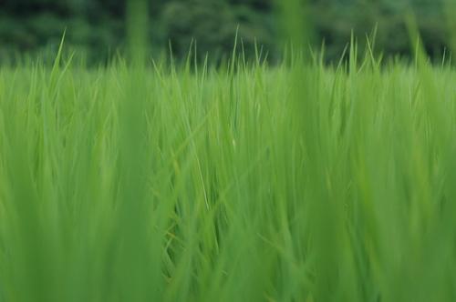 富山県 富山米 コシヒカリ 玄米