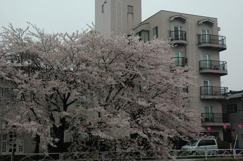 富山市 満開 桜 花見 いたち川