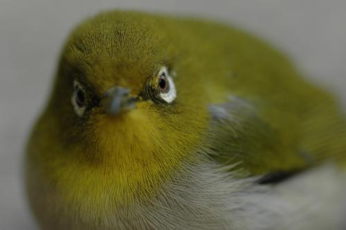 メジロ 野鳥 いたち川 富山市