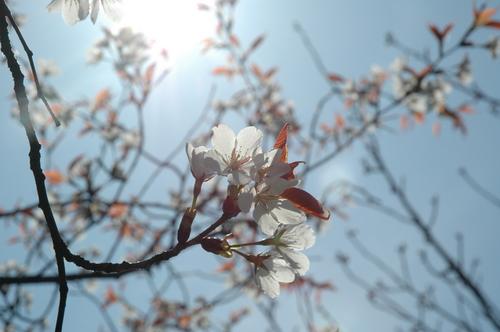 桜 富山市 満開