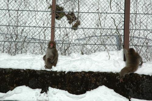 猿 野猿 サル 野生 富山市