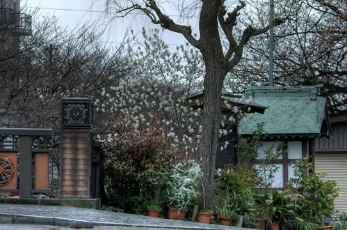 富山市 木蓮 いたち川 植物写真