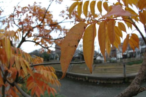 いたち川 富山市 紅葉