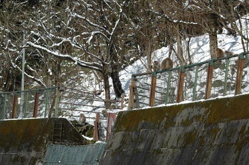 立山山麓 富山市 サル 野猿