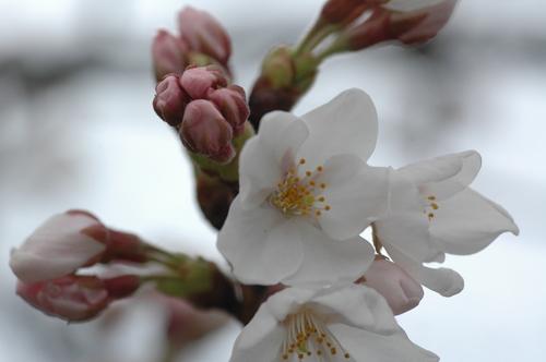 富山市 いたち川 桜 4月1日