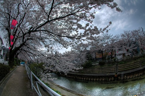 桜 花見 富山市 いたち川