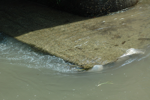 富山市 いたち川 環境 水質
