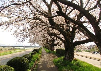 神通川左岸堤防4