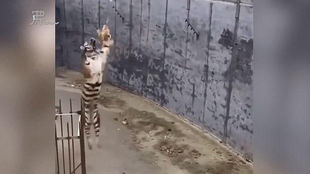 中国、動物園で客が勝手にニワトリ持参し吊り下げて「トラ釣り」遊び!