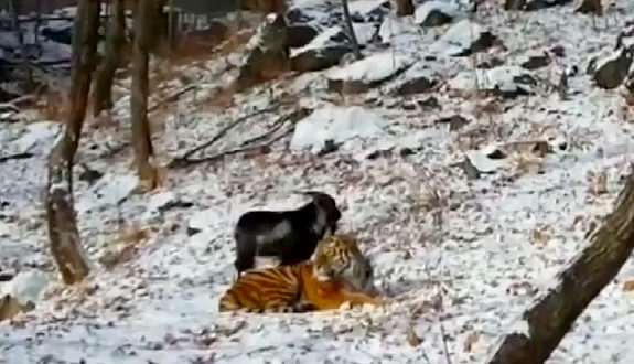 ロシア、トラのエサに生きたヤギ、なぜか仲良しに