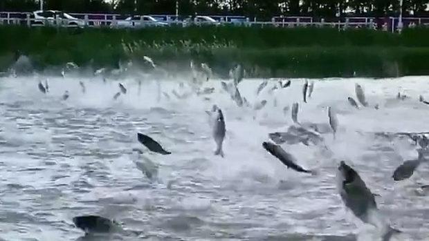 吉林省の湖で魚の群れがぴょんぴょん飛び跳ねる珍現象!