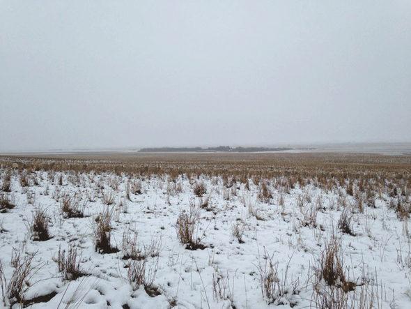 【画像】カナダ、雪原に完全に一体化している羊の群れ1
