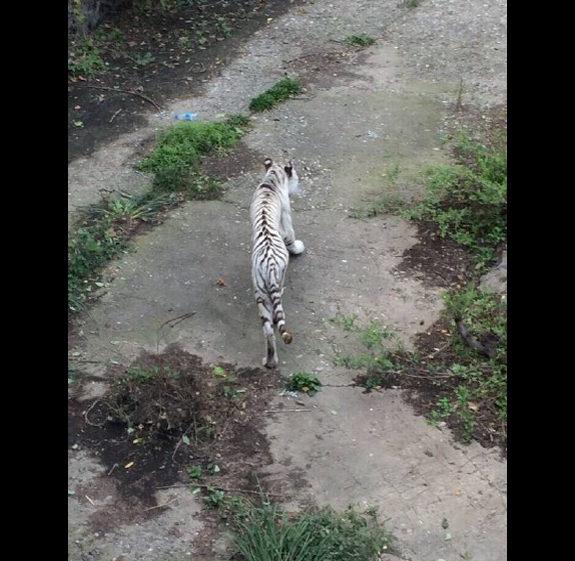 【中国】北京動物園のトラがガリガリ