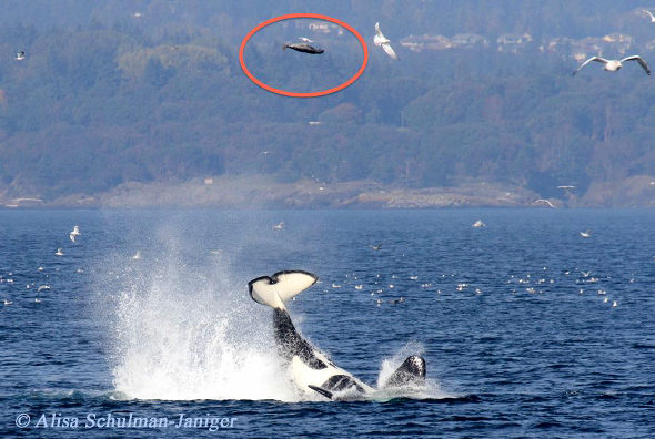 カナダ、シャチが尾びれアタックでアザラシを18m上空に吹っ飛ばす