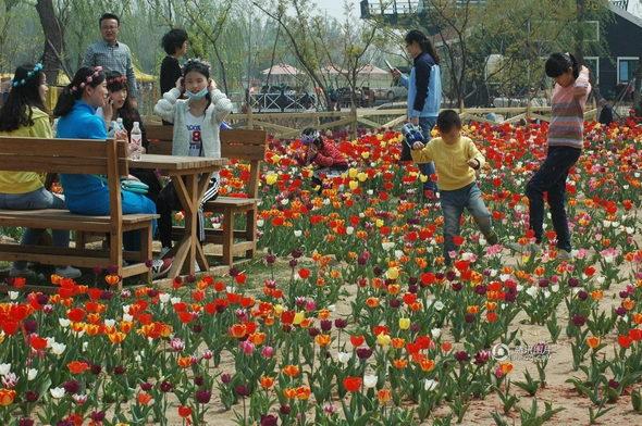 【中国】山東省 チューリップ畑、多くの観光客に踏みつけられる4