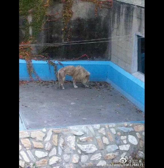 【中国】北京動物園のライオンがガリガリ