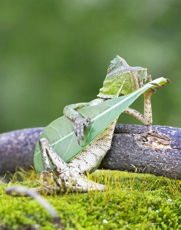 【画像】インドネシア、ギターを弾く「トカゲ」