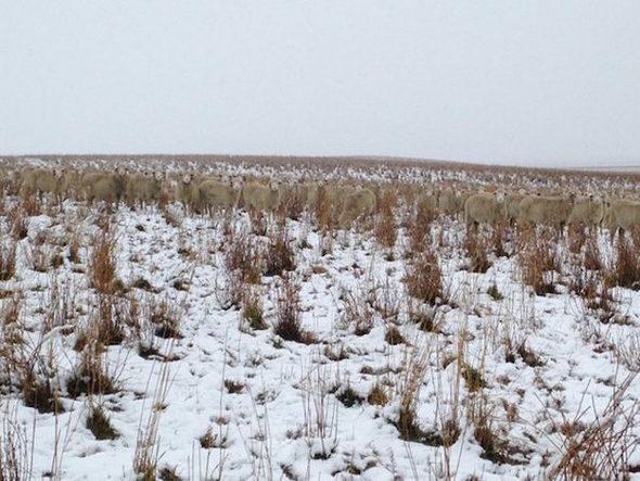 カナダ、雪原に完全に一体化している羊の群れ3