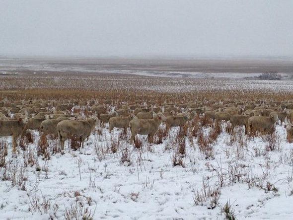 カナダ、雪原に完全に一体化している羊の群れ4