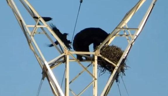 カナダ、送電鉄塔の上のカラスの巣をクマが襲撃!