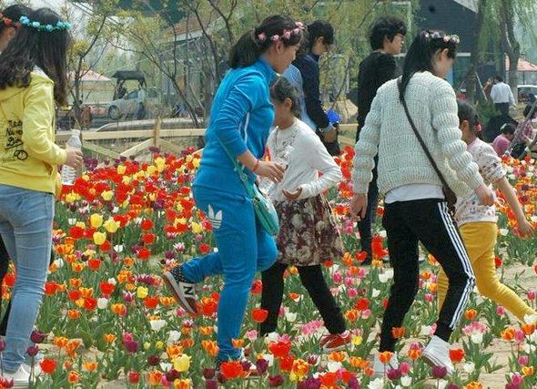 【中国】山東省 チューリップ畑、多くの観光客に踏みつけられる2