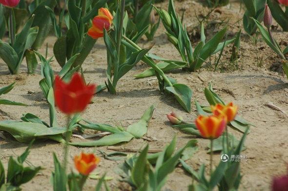 【中国】山東省 チューリップ畑、多くの観光客に踏みつけられる3
