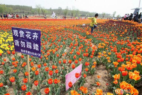 【中国】山東省 チューリップ畑、多くの観光客に踏みつけられる1
