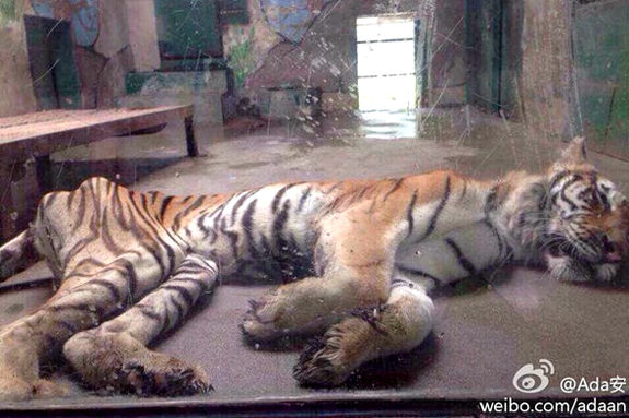 【中国】痩せこけた天津動物園のトラ