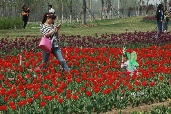 【中国】山東省 チューリップ畑、多くの観光客に踏みつけられる6