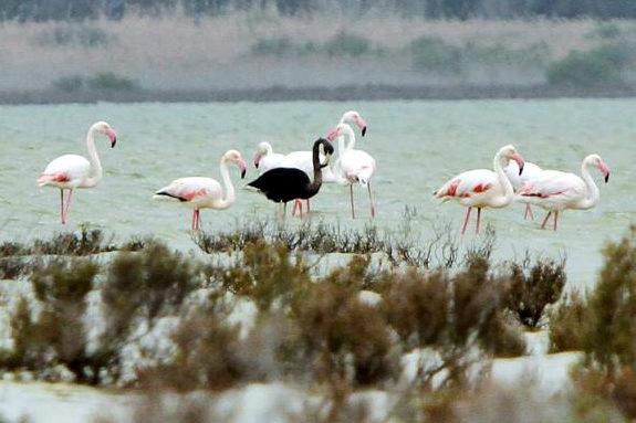 キプロス、世界でたった一羽の「黒いフラミンゴ」を地中海で発見!