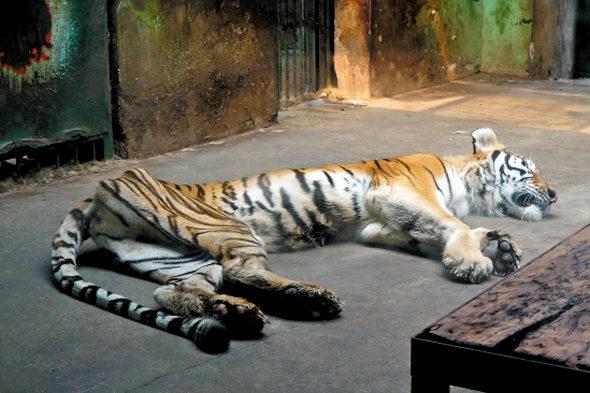 【中国】天津動物園の「虎」が痩せこけて骨と皮になっている!1