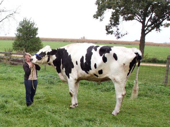 【画像】米国、巨大すぎる体のおかげで食肉になるのを免れた牛1