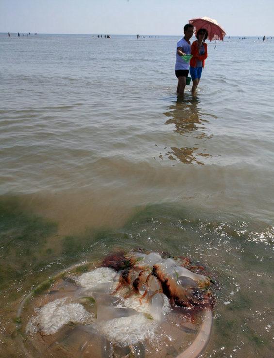 【中国】 河北省、海水浴場で巨大クラゲ大量発生3