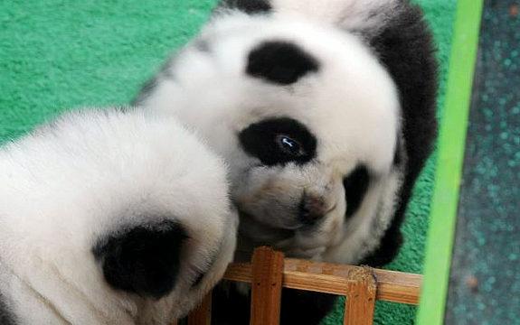 中国で「パンダ犬」が流行4
