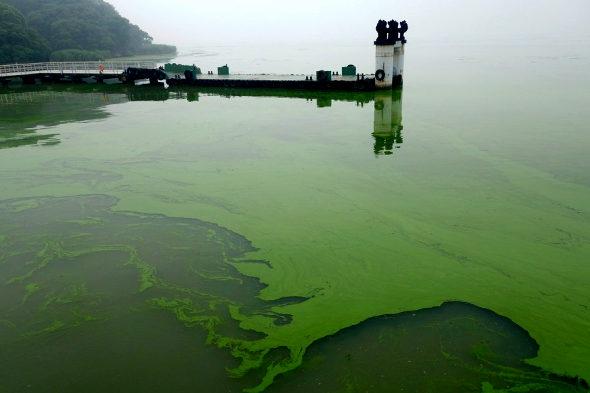 【中国】太湖に緑藻異常発生2