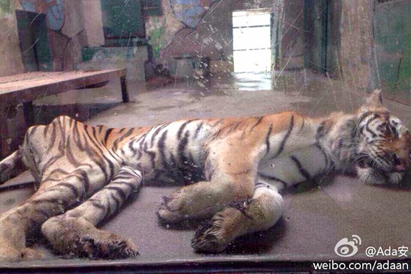 【中国】天津動物園の「虎」が痩せこけて骨と皮になっている!4