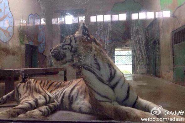 【中国】天津動物園の「虎」が痩せこけて骨と皮になっている!3