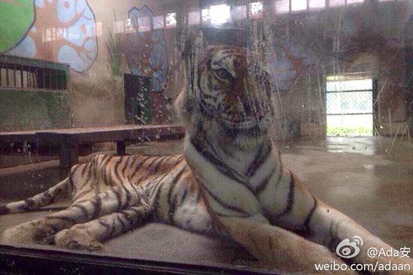 【中国】天津動物園の「虎」が痩せこけて骨と皮になっている!2
