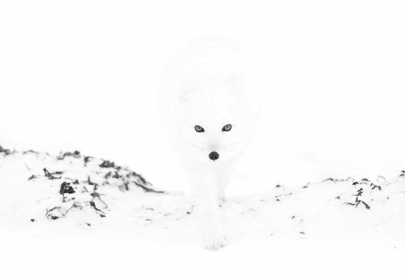 【画像】 霧の中から現れた「ホッキョクギツネ」