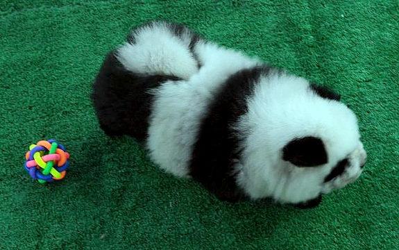 中国で「パンダ犬」が流行2
