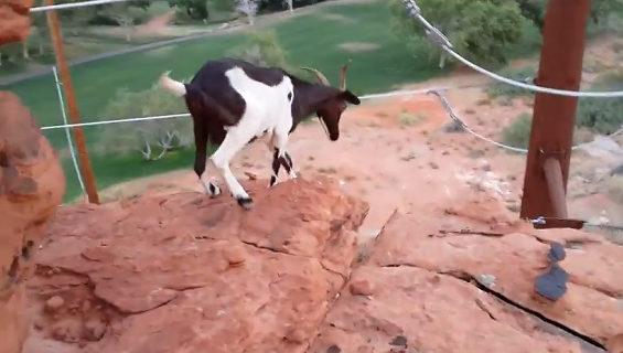 崖から飛び降りるヤギ