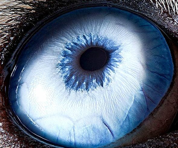 【画像】 シベリアン・ハスキーの眼 1