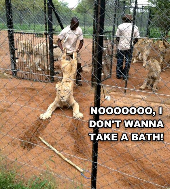 【画像】ライオン「お風呂やだ~!!」