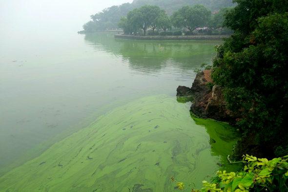 【中国】太湖に緑藻異常発生6