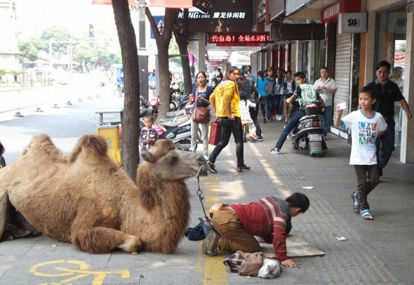 中国、ラクダを引いて土下座する子供の物乞い 2