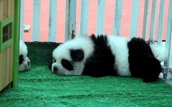 中国で「パンダ犬」が流行3